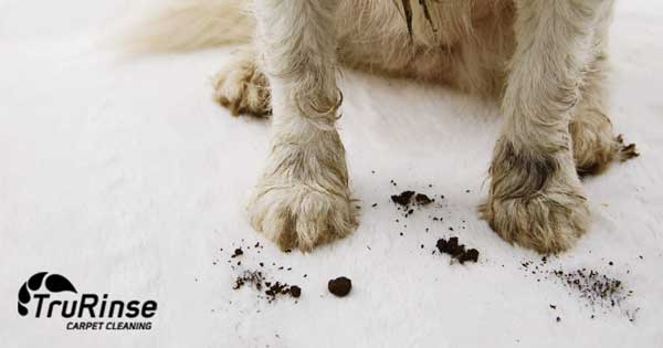 dog dirty paws carpet cleaning
